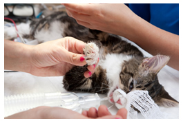 cat under anaesthetic during surgery