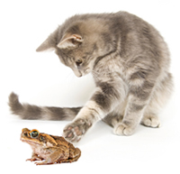 Kitten interested in large cane toad