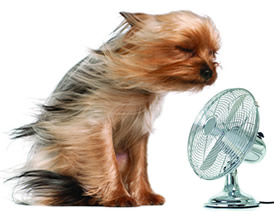 small dog cooling off with cold air from a fan