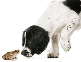 Dog sniffing a cane toad