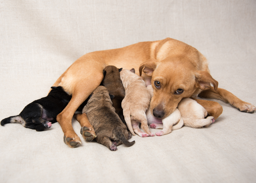 Caring For A Pregnant Dog Reproduction Dogs Pet Care