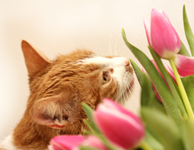 Inquisitive cat smelling bright pink flowers