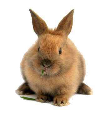 Myxomatosis In Rabbits Greencross Vets