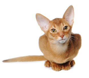 Ginger cat with large ears
