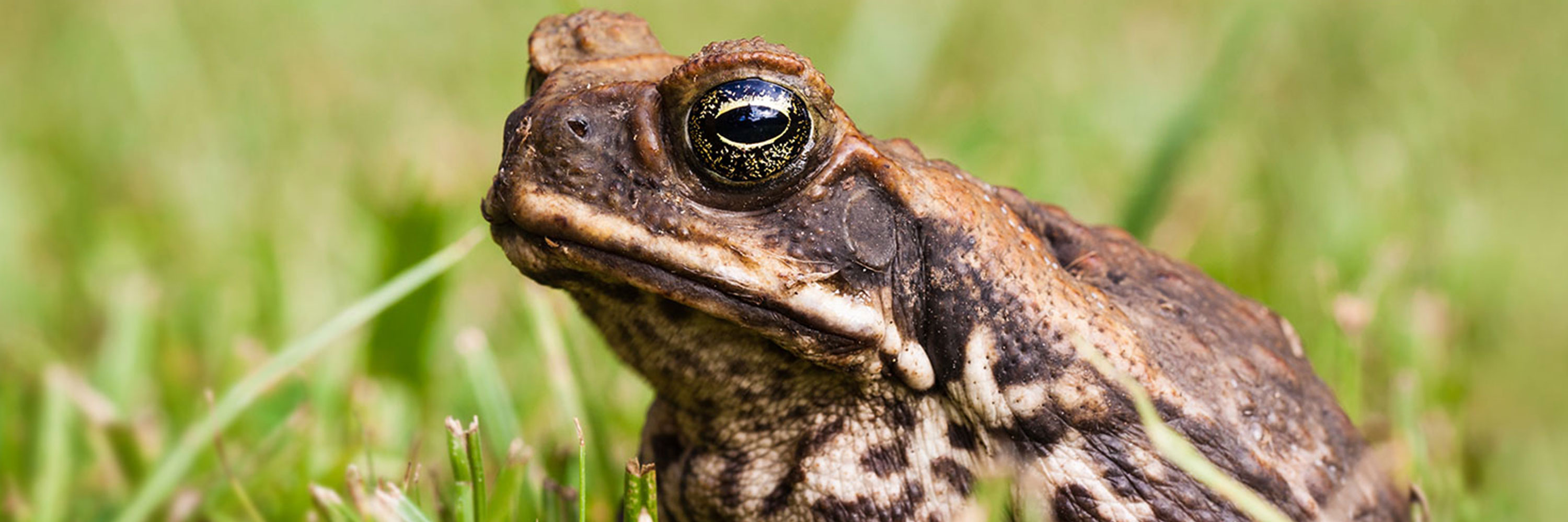 Cane Toad Poisoning - Greencross Vets