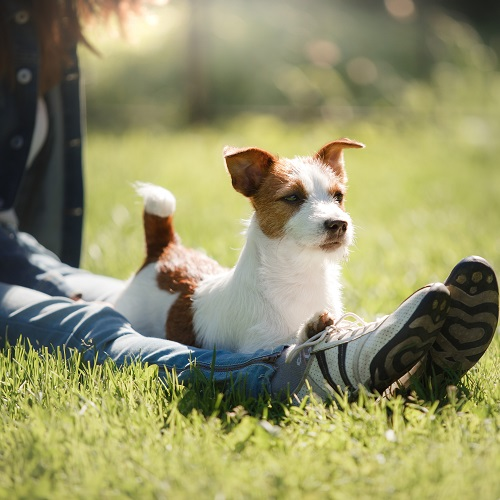 Is A Jack Russell Right For Your Family Greencross Vets