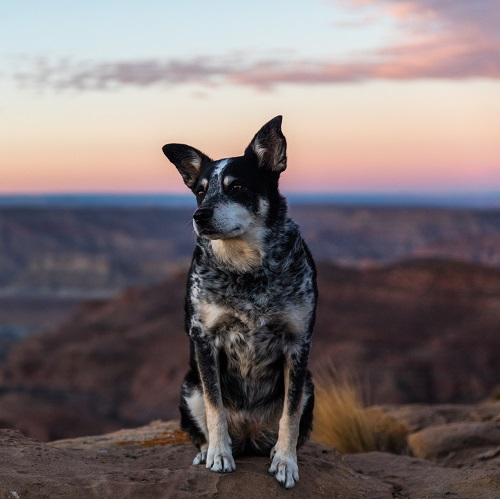Is An Australian Cattle Dog Right For Your Family Greencross Vets
