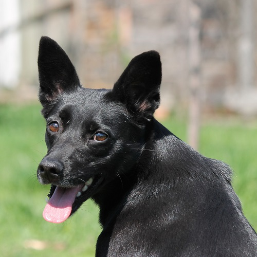 Is a Kelpie right for your family? - Greencross Vets