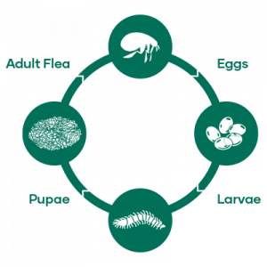Flea lifecycle diagram